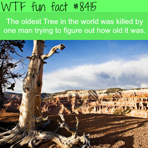 Oldest tree in the world - WTF fun facts