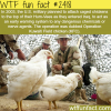 operation kuwaiti field chicken