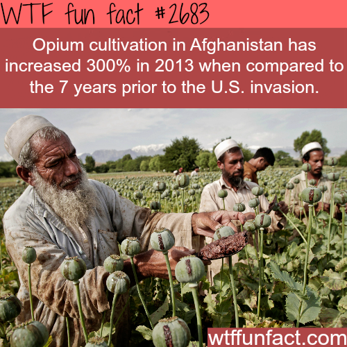 Opium Cultivation in Afghanistan hits record high - WTF fun facts