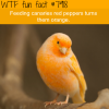 orange canaries wtf fun facts