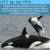 orcas wtf fun fact