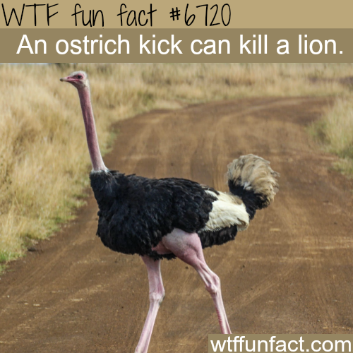 Ostriches can kill lions - WTF fun fact