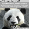 panda acts pregnant to get more food wtf fun