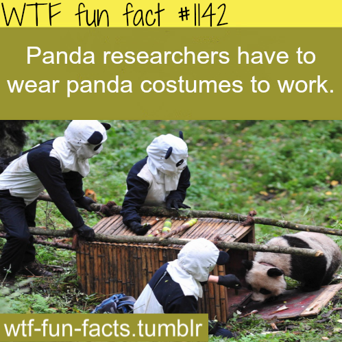 Panda researchers costumes  – (animales facts)