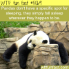 panda sleeping wtf fun facts