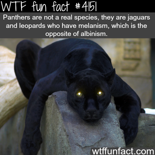 Panthers vs Jaguars -  WTF fun facts