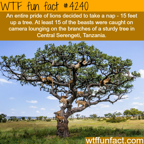 Picture of 15 lions taking a nap on a tree -  WTF fun facts