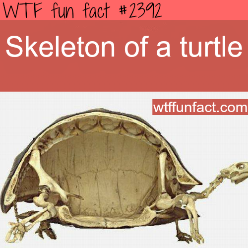 Picture of a skelton of a turtle - WTF fun facts