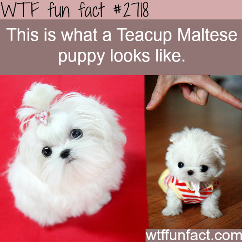 Picture of Teacup Maltese Puppy - WTF fun facts