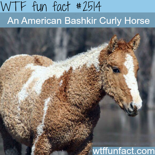 Pictures of Curly Horse