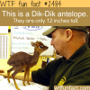 pictures of the small antelope dik dik