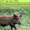 pig in australia drinks beer and fights a cow