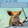 pigs of the bahamas wtf fun fact