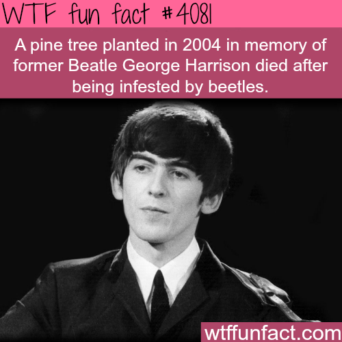 Pine tree planted in memory of George Harrison died - WTF fun facts