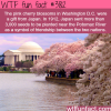 pink cherry blossoms in washington dc
