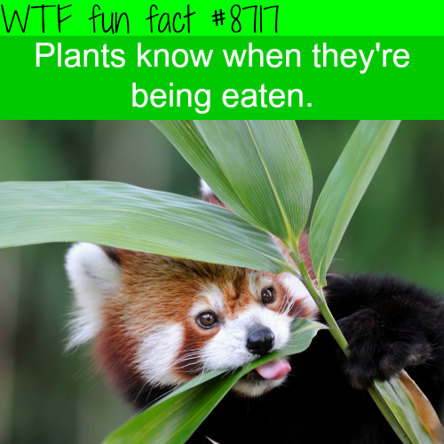 Plants know when something is eating them - WTF fun facts