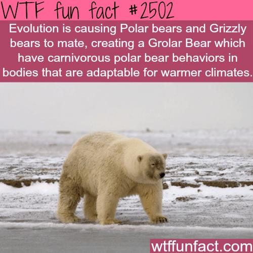 Polar bears and Grizzly bears: Grolar Bear -WTF funfacts