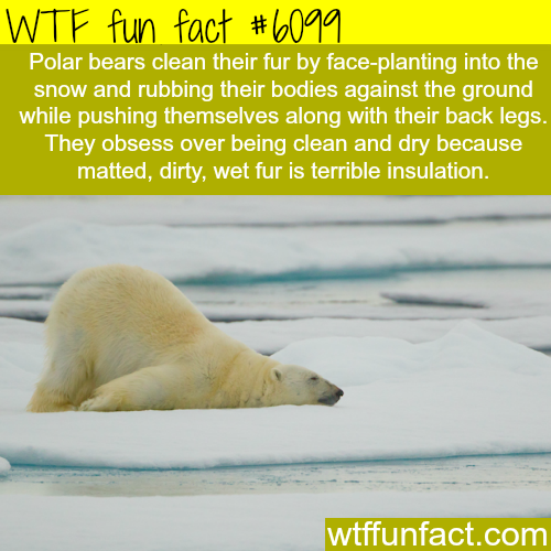 Polar bears cleaning their fur - WTF fun facts