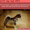 pomsky cross dog
