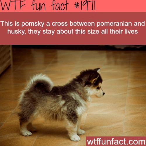 Pomsky cross dog -WTF fun facts