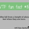 poor baby giraffe more of wtf fun facts are