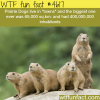 prairie dogs wtf fun facts