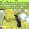 praying mantis vs humming bird