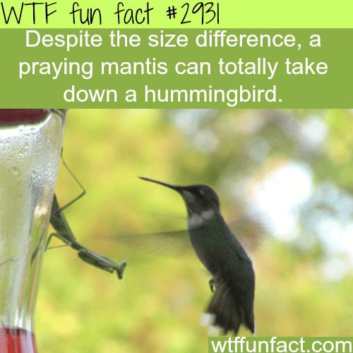 Praying mantis vs. humming bird -WTF fun facts
