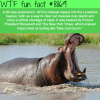 president roosevelt wanted to release hippos in