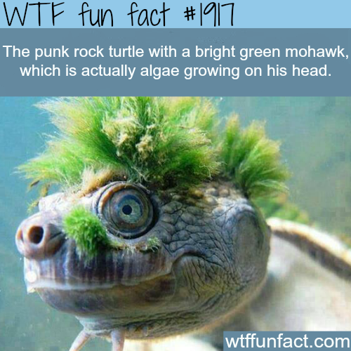 Punk turtle - WTF fun facts