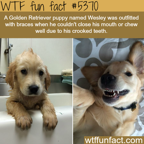 Puppy wearing braces - WTF fun facts