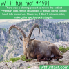 pyrenean ibex wtf fun facts