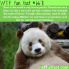 qizai the brown panda wtf fun fact