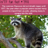 raccoons in japan wtf fun facts