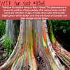 rainbow eucalyptus trees wtf fun facts