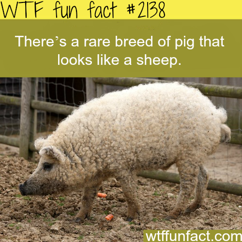 Rare breed of pig that look like sheep - WTF fun facts
