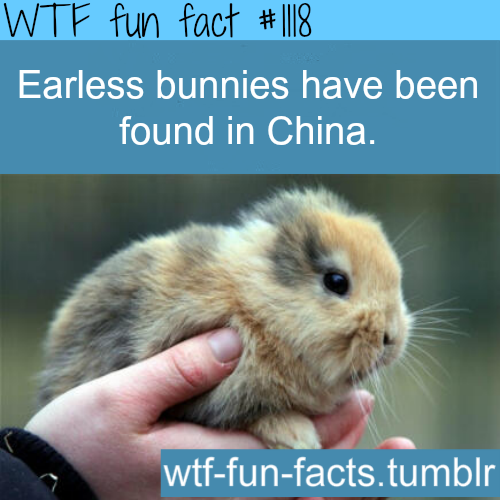 (SOURCE) - Rare Earless Bunnies Found In Chinese Village
