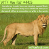rare female lion with manes wtf fun facts