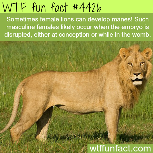 Rare female lion with manes-   WTF fun facts