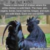 rare solid black chicken wtf fun facts