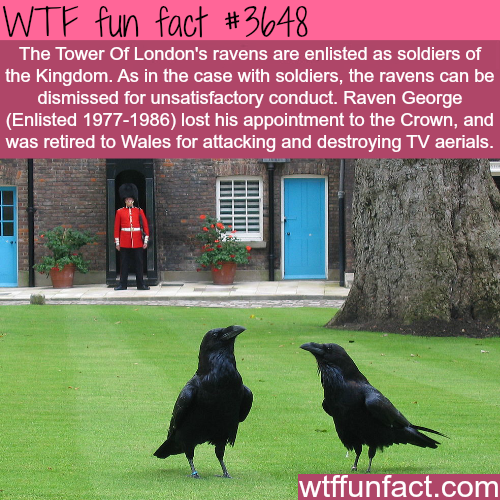 Ravens are listed as soldiers of the Kingdom -  WTF fun facts
