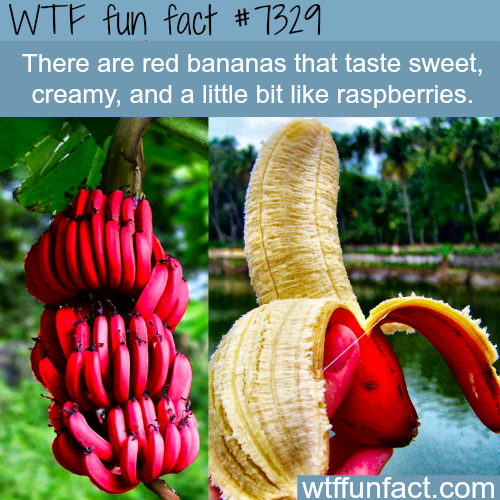 Red Bananas - WTF fun fact