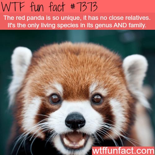 red panda - WTF fun facts