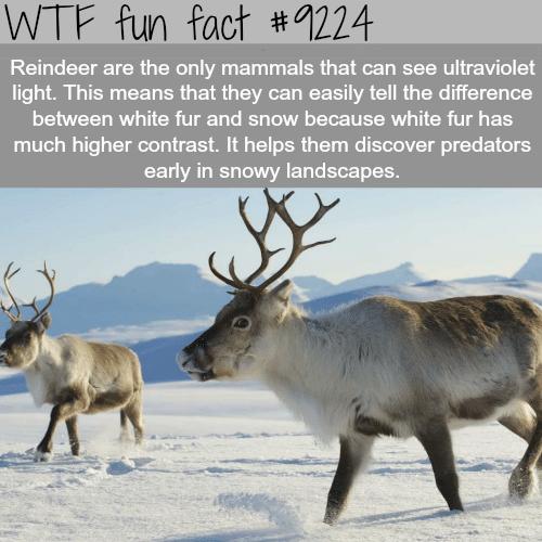 Reindeer - WTF Fun Fact