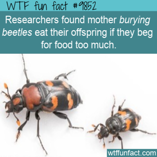 Researchers found mother burying beetles eat their offspring if they beg for food too much.