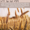 rice maize and wheat wtf fun fact
