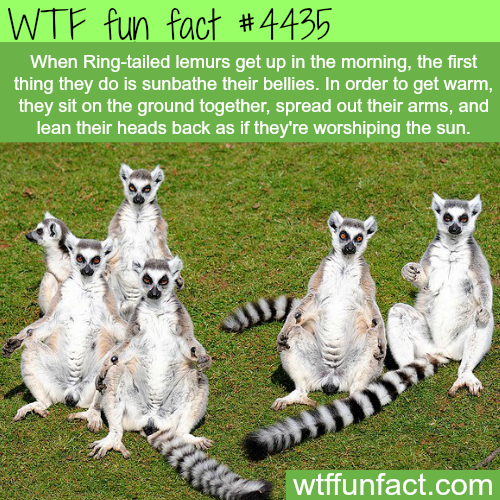 Ring-tailed lemurs sunbathing -   WTF fun facts