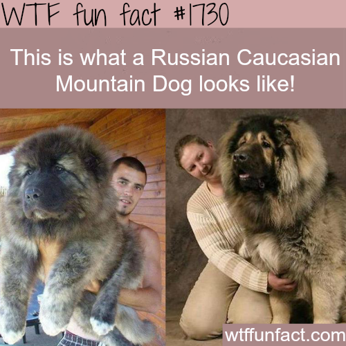 Russian Caucasian Mountain Dog pics- WTF fun facts