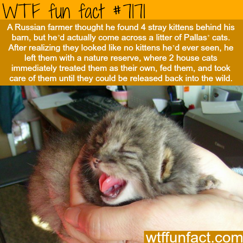 Russian farmer finds a litter of Pallas' cats - WTF Fun Fact