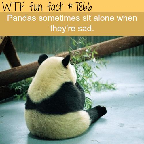 Sad panda - WTF fun fact